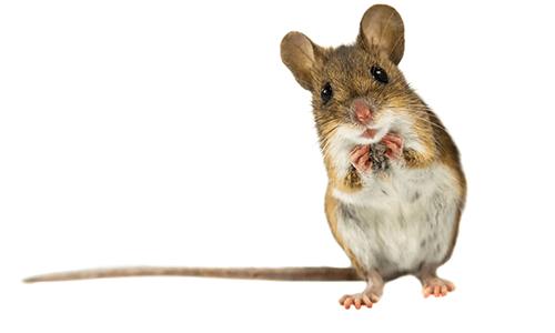 mouse in condo